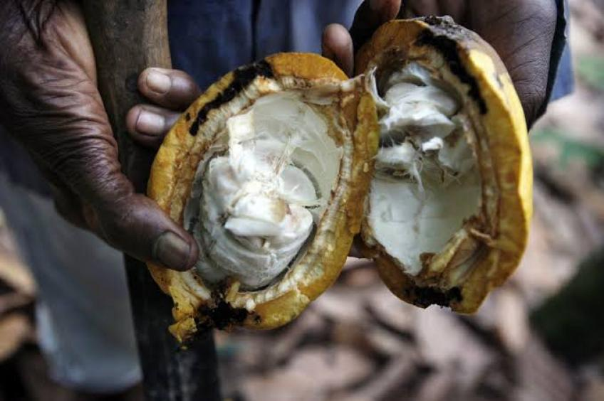 Ghana's main cocoa harvest to drop to multi-year low on disease